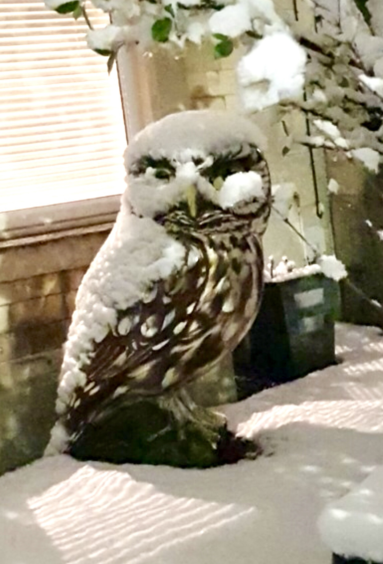 Cold snap transforms Little Owl into Snowy Owl!